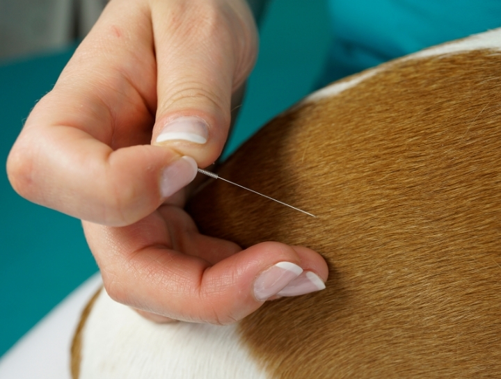 The Benefits of Veterinary Acupuncture